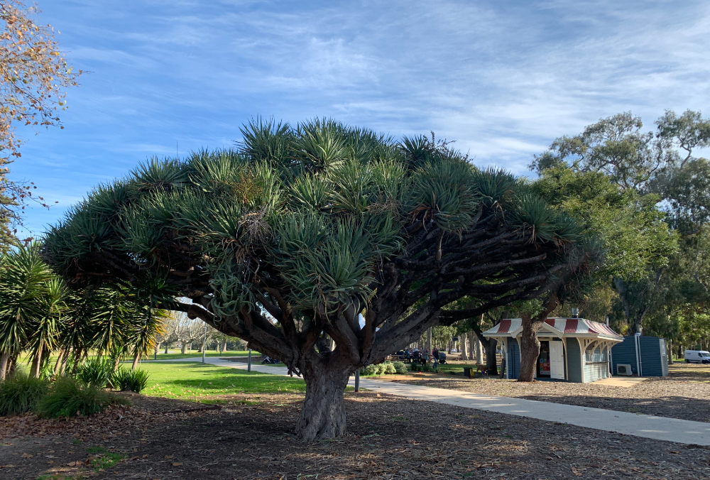 dragon tree vic park