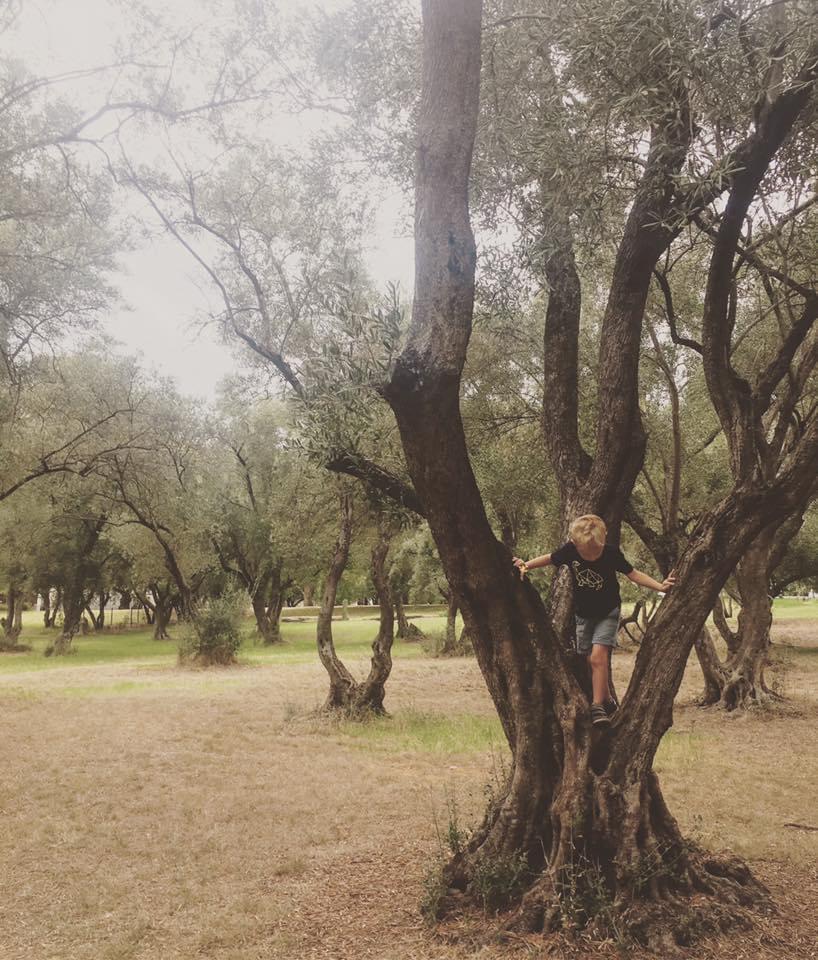 olive grove climbing tree