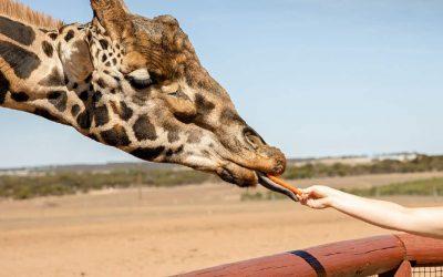 Win: A family pass to Monarto Safari Park