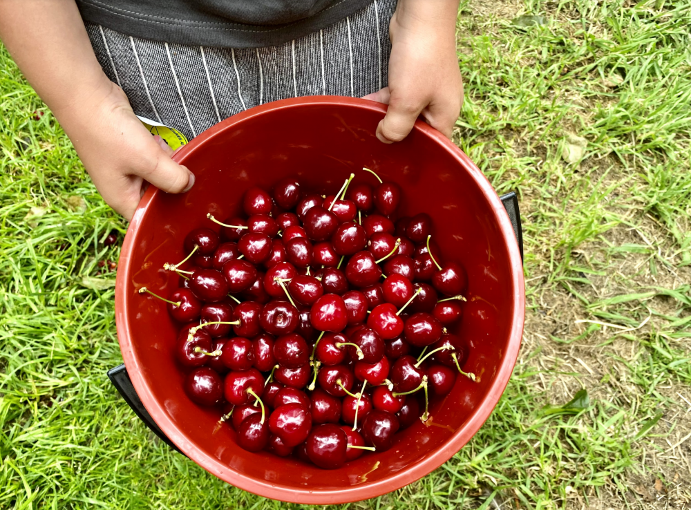 cherry picking fleurieu